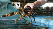 An employee pulls out a live lobster from the holding tank at the Clearwater Seafoods store on the Bedford Highway in Halifax in this file photo taken onNovember 12, 2007. (Paul Darrow/For The Globe and Mail/Paul Darrow/For The Globe and Mail)