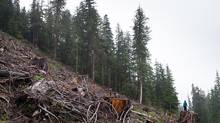 Just one-tenth of Vancouver Island's 32,000 square kilometres of land is still old-growth rainforest, according to the Sierra Club of B.C. (TJ Watt)