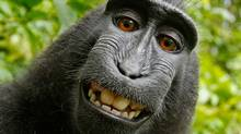 A cropped version of a photograph taken by a black crested macaque on equipment belonging to nature photographer David Slater has created a copyright debate over who (or what) owns the rights to the photos. Wikimedia Foundation says because the image was taken by a monkey, Mr. Slater can not claim rights to the image. (David J Slater/Wikimedia)