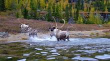 Woodland caribou in Labrador in an undated photo. (Valerie Courtois/Canadian Boreal Initiative)