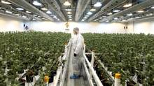 Smiths Falls, Ont.'s Tweed, which operates out of a former chocolate factory, is poised to have a head start over the competition once recreational pot sales become legal in Canada. (Dave Chan/The Globe and Mail)