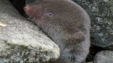 A northern short-tailed shrew. (Gilles Gonthier/Wikimedia Commons)