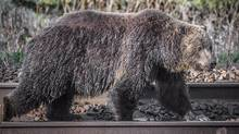 A study suggests hungry grizzly bears drawn to bountiful berry crops in southeastern British Columbia are dying in disturbing numbers. (Darryn Epp/The Canadian Press)