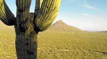 Iconic 50-feet-tall cacti dot the landscape of Saguaro National Park (pronounced Sa-Wah-ro). The varied landscape is threatened by a tenacious, fire-resistant grass from Ethiopia. Candice Vallantin for The Globe and Mail