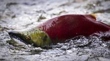 Sockeye salmon. (JOHN LEHMANN/THE GLOBE AND MAIL/JOHN LEHMANN/THE GLOBE AND MAIL)