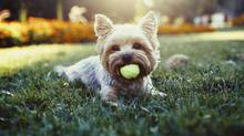 Those eager to experience downtown condo living must shop for a space that accommodates their pets. (Getty Images/iStockphoto)