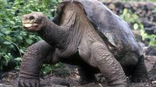 A lumbering giant Galapagos tortoise known as Lonesome George lifts his head up during a walk in his protected home in the island chain in Puerto Ayora in this February 5, 2001 file photo. Lonesome George, the last remaining tortoise of his kind and a conservation icon, died on June 24, 2012 of unknown causes, the Galapagos National Park said. He was thought to be about 100 years old. (STRINGER/REUTERS)
