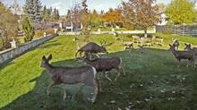 A herd of deer shown grazing on a residential lawn in Cranbrook, B.C., in 2008. (Courtesy City of Cranbrook)