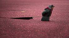 A Mexican migrant worker rounds up floating cranberries at a farm in Richmond, B.C., in November, 2012. (John Lehmann/The Globe and Mail)