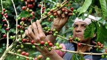 A mutant strain of one of the world's most devastating coffee diseases is attacking crops in Guatemala, putting farmers on high alert for a wider outbreak across Central America. (Oswaldo Rivas/Reuters/Oswaldo Rivas/Reuters)