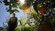 Fruit grower and orchardist Bob Duncan picks lemons from his 10 and 20-year-old lemon trees throughout the year in North Saanich, B.C. The trees bloom on his farm from late March until the end of October, along with temperant fruits like navel oranges, grapefruit, pomegrantes and guava. (Chad Hipolito/The Canadian Press)