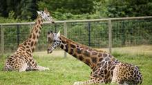 Jafari, right, and Eleah, left, sit in their enclosure in July 2006 at the Greater Vancouver Zoo in Aldergrove, B.C. (Rafal Gerszak/The Globe and Mail)