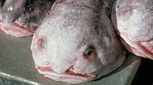 The blobfish was named the world's ugliest creature in a recent YouTube poll that included the participation of celebrities including Stephen Fry and Brian Cox (NOAA)