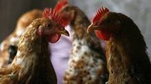 The scientists said that because of the risks posed by the H5N1 flu virus, they have a public-health responsibility to resume this research. (KHAM/REUTERS)