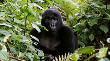 A mountain gorilla sits in a forest in Uganda in 2013. This species, of which there are only an estimated 880 in the wild, has been joined by the eastern gorilla on the International Union for Conservation of Nature's critically endangered list. (THOMAS MUKOYA/REUTERS)