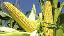 Stressful growing conditions in the U.S. and high demand has pushed corn futures up by more than 30 per cent. (Stock photo | Thinkstock/Stock photo | Thinkstock)