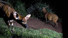 Jake Veasey of the Calgary Zoo has his eye on mountain bongos, a large red-coloured antelope with distinctive white stripes. Here, two mountain bongo are shown at a camera trap in Kenya. There are perhaps 100 mountain bongos left in the wild, but Dr. Veasey is aiming to get an accurate count and from that, develop local conservation programs. (JAKE VEASEY)