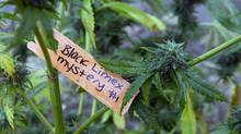 In this Oct. 13, 2016 file photo, a tag identifies the type of marijuana plant on the medical marijuana farm near Laytonville, Calif. (Rich Pedroncelli/AP)