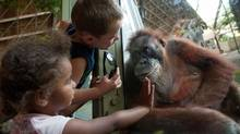 Twenty-five-year old orangutan Budi interacts with children outside her enclosure at the Toronto Zoo. (Galit Rodan/The Globe and Mail)
