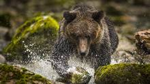 The arrival of grizzly bears in Alert Bay is thought by wildlife experts to be further proof that B.C.'s coastal grizzlies are expanding their range. (John Lehmann/The Globe and Mail)