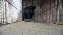 Rosa, a 5- year old female bear, lives in a cage near a gas station in Lityn, 400 km (245 miles) away from Kiev December 15, 2011. The Vier Pfoten (Four Paws) Animal Welfare Foundation started a bear rescue project together with the Ukrainian Ministry of Environment Natural Resources and The Rehabilitation Bears Center in Synvyr, Ukraine. (HANDOUT/REUTERS)