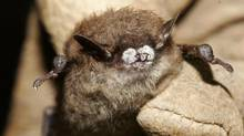 This October, 2008, file photo provided by the New York Department of Environmental Conservation shows a little brown bat suffering from white-nose syndrome, with the signature frosting of fungus on its nose, found in a New York cave. (RYAN VON LINDEN/THE CANADIAN PRESS)