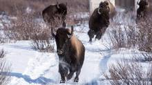 Bison are relocated to Banff National Park in a Feb.1, 2017.