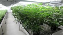 Marijuana, seen in a licensed Smiths Falls, Ont., grow room in January of 2016. (Dave Chan/The Globe and Mail)