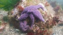 Sea Star Wasting Syndrome has decimated the creatures from Alaska to Mexico, wiping out some colonies off the coast of British Columbia. (The Canadian Press)