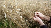 Italian farmer Giuseppe Oglio shows how millet grows with weeds at one of his plantation in Belcreda Gambolo, 30 km (20 miles) southwest of Milan in northern Italy November 6, 2009. (ALESSANDRO GAROFALO/ALESSANDRO GAROFALO/REUTERS)