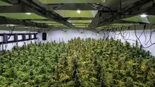 The canopy of a marijuana crop is seen at Alternative Solutions, a DC area medical marijuana producer, April 20, 2016 in Washington, DC. (BRENDAN SMIALOWSKI/AFP/Getty Images)
