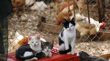 Cats are not interested in eating chickens on the farm. (Dimitris Kolyris/Getty Images/iStockphoto)
