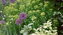 Most alliums will spread nicely; they even look good once they are out of bloom (Marjorie Harris)