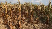 Corn plants struggle to survive on the drought-stricken farm in Henderson, Kentucky, in this photo from July 24, 2012. A report from the U.S. Agriculture Department is expected to estimate that the country's corn harvest will drop 11 per cent from last year, with yields 23 per cent below normal. (JOHN SOMMERS II/REUTERS)