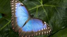 blue Morpho butterfly (Milous Chab/Getty Images/iStockphoto)
