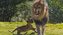 Izu, an African lion at San Diego Zoos Wild Animal Park, growls and looks scary on Feb. 15, 2008. (Ken Bohn/AP)