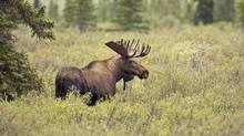 A series of population surveys conducted by the province a few years ago revealed that, in many regions, moose numbers declined by 50 per cent to 70 per cent. (Getty Images/iStockphoto)
