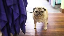 A pug waits for its owner at Lululemon's Yorkville location in Toronto. (Moe Doiron/Moe Doiron/The Globe and Mail)