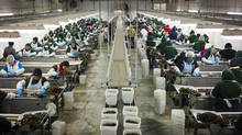 The all female labour force of temporary foreign workers from Mexico sort and grade cherries at the Jealous Fruits facility near Kelowna, BC August 19, 2014 which is kept at cool 55F to keep the cherries fresh. (John Lehmann/The Globe and Mail) (John Lehmann/The Globe and Mail)