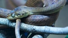 Thanks to the quick thinking of doctors and an emergency rush to Seattle to pick up an antidote, a Vancouver man is alive after a Bothrops (not pictured) bite left him bleeding tears of blood. (istockphoto)