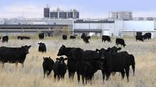 Cattle in pasture beside XL Foods' Lakeside Packers plant at Brooks, Alta., onOct. 1, 2012. (LARRY MACDOUGAL/THE CANADIAN PRESS)