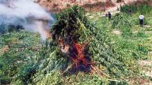 Albanian police burn cannabis sativa near the town of Vlore, about 180 kilometres south of the capital Tirana in this August 2005 file photo. (STR/REUTERS)