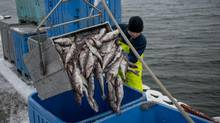 Jeremy Wigton, an employee with Inshore Fisheries Ltd. empties a 300 pound tub of Haddock during off loading at Dennis Point wharf in West Pubnico, Nova Scotia. (Scott Munn For The Globe and Mail)