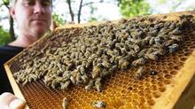 Dan Davidson, is the President of the Ontario Beekeepers Association (OBA), which is fighting to ban the pre-treatment of agricultural seed which they say is adversely affecting the bee population. He is photographed on June 16, 2014 with a couple of his 1700 colonies of bees that produce 150,000 pounds of honey on average annually. He says they tried unsuccessfully to get an all-out ban on neonicotinoids but are now looking to reduce it's over use with this effort. Pre-coating seeds means that 1005 of a crop receives treatment when generally only 10-20 per cent of an acreage requires it. Bees play a critical role in that one third of the food we eat requires pollination and 80 per cent of that is now being done by honey bees because they can be managed. (Peter Power For The Globe and Mail)