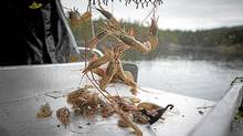 Spot prawns pour out of a prawn trap caught in the waters of the George Strait in the Discovery Islands, May 30, 2012. (John Lehmann/John Lehman/The Globe and Mail)