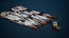 A tugboat pulls logs on the Fraser River between New Westminster and Delta, B.C., on Monday December 12, 2016. (DARRYL DYCK For The Globe and Mail)