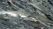 Thousands of pink salmon swim upstream to spawn in Valdez, Alaska, in August 2008. (Lucas Jackson/Reuters)
