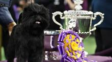 Banana Joe, an affenpinscher, stands beside his trophy after winning the 137th Westminster Kennel Club Dog Show at Madison Square Garden in New York, Feb. 12, 2013. (SHANNON STAPLETON/Reuters)