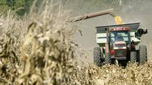 Corn being harvested in Kansas (KAREN LEE MIKOLS)