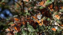 In an average year, 350 million monarch butterflies are seen wintering in Mexico. This winter, there were only about 60 million – a difference of more than 80 per cent, according to an official count by the World Wildlife Fund and the Mexican government. (FLIGHT OF THE BUTTERFLIES 3-D)